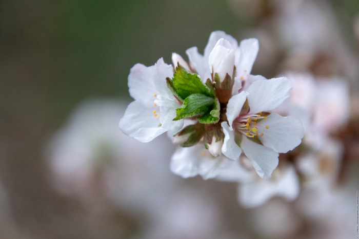 Сакура или вишня? Вишня, Сакура, Россия