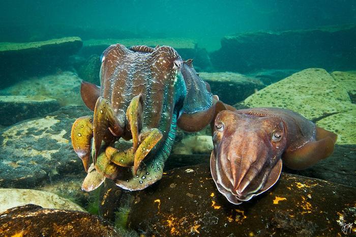 Каракатицы-«правши» лучше дерутся, зато каракатицы-«левши» успешнее размножаются Наука, Биология, Копипаста, Elementy ru, Зоология, Этология, Длиннопост