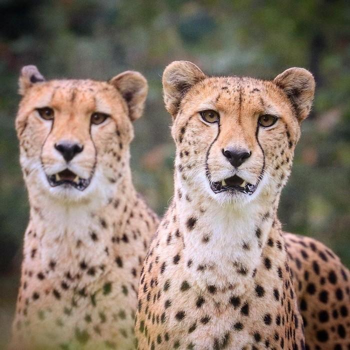 Двойное удивление Фотография, Животные, Гепард, Дикая природа, Удивление