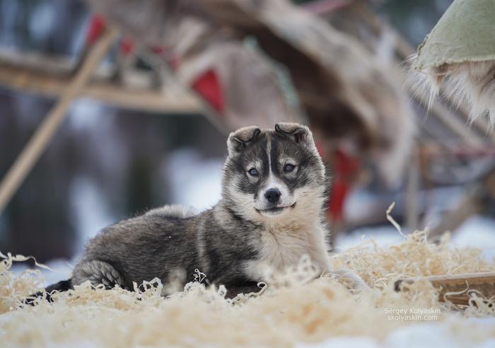 Арктический щенок. Собака, Щенки, Север, Снег, Коми, Животные, Фотография