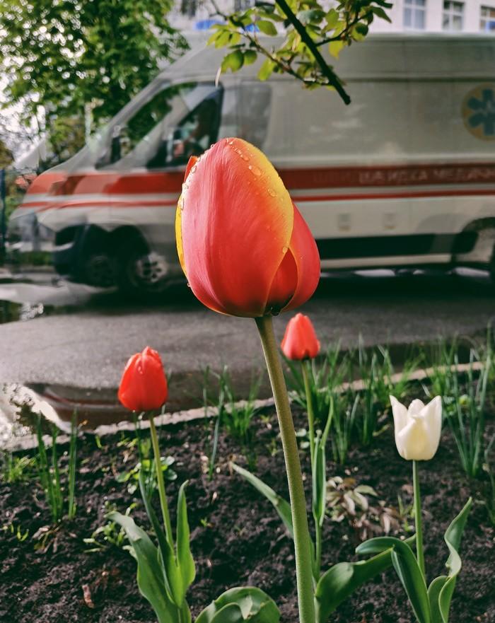 Скорая, тюльпаны Мобильная фотография, Начинающий фотограф, Скорая помощь, Тюльпаны