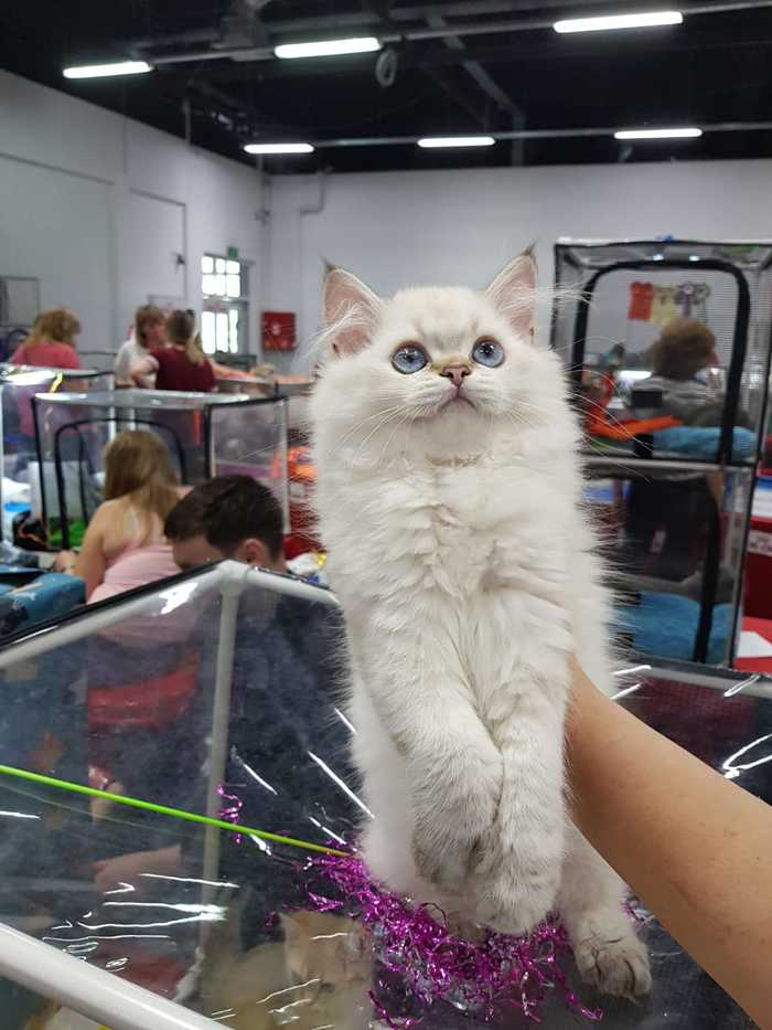 Поделюсь своими хвостами. Котомафия, Британский кот, Черный кот, Длиннопост, Кот