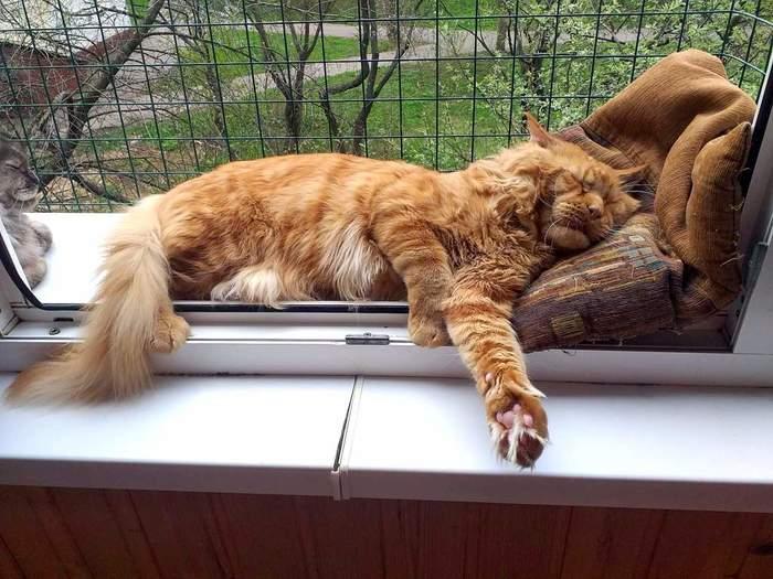 Сон на свежем воздухе полезен для здоровья! Кот, Мейн-Кун, Фотография, Сон
