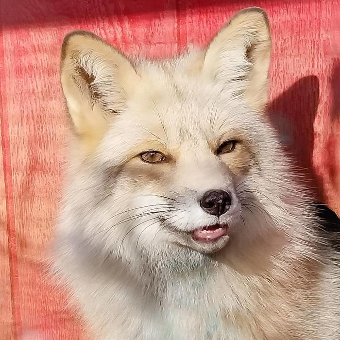 Милые лисички Лиса, Длиннопост, Милота, Мило, Немного милости