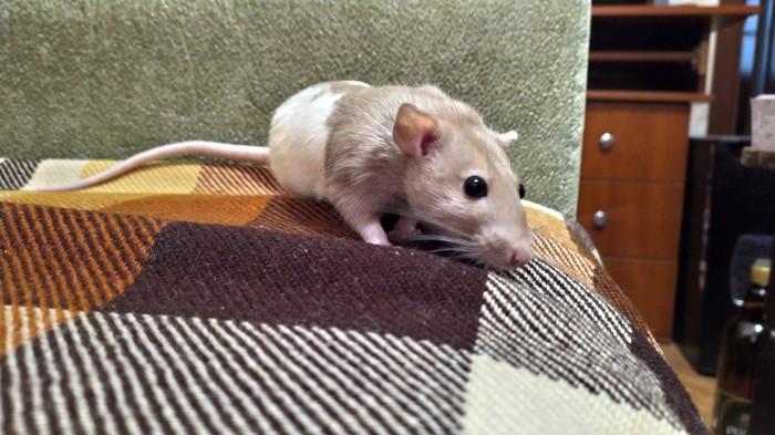 Крысы моего друга Крыса, Декоративные крысы, Любопытство, Живность, Длиннопост