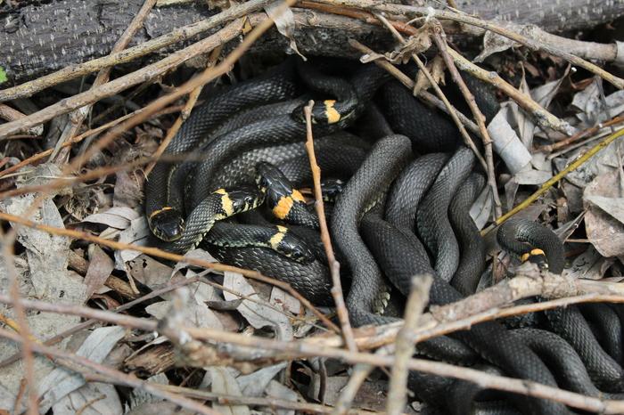Змеи начали играть свои свадьбы Змея, Уж, Свадьба, Ящерица, Фотография, Видео