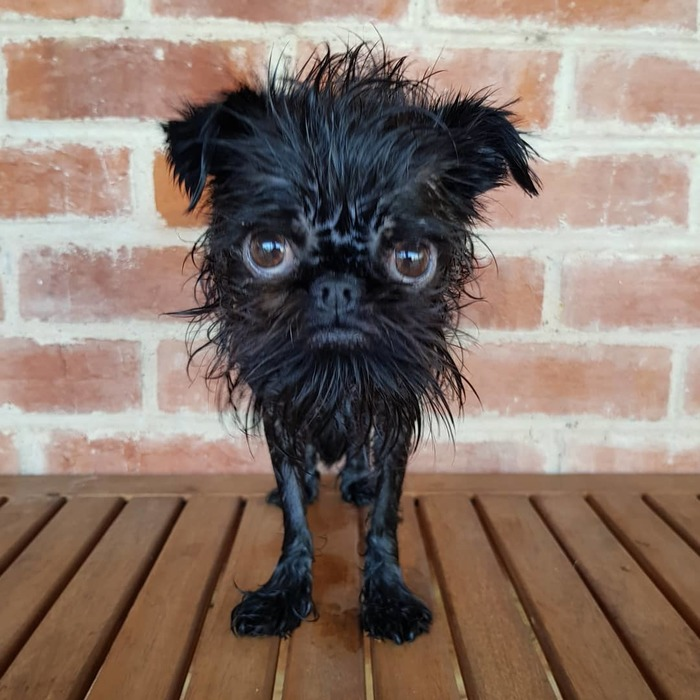 Лёха, ты? Собака, Бельгийский гриффон, Фотография, Длиннопост