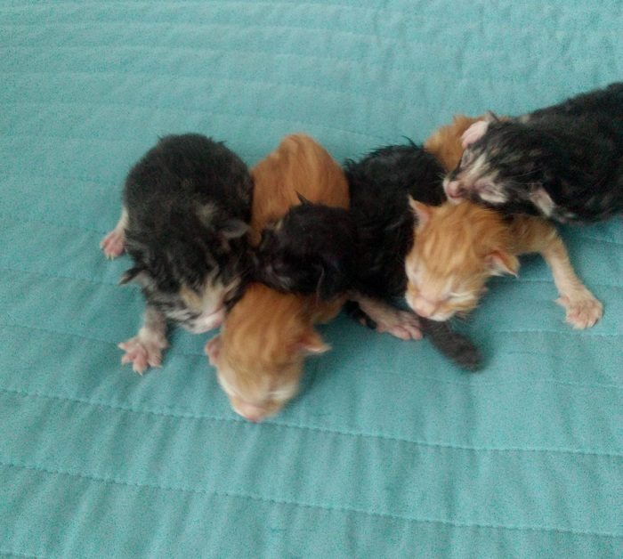 А у нас сегодня кошка, родила вчера котят ! Котята, Курильский бобтейл, Домашние животные, Милота, Кот, Малыши