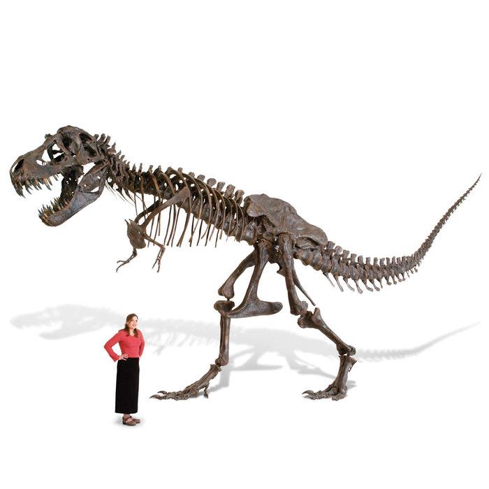 Лапка Тирекса Динозавры, Палеонтология, Скелет, Тираннозавр, Кости
