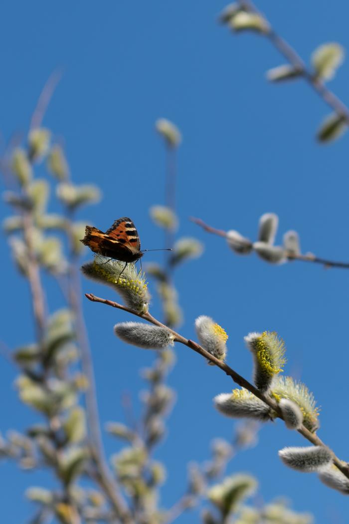 Верба расцвела Начинающий фотограф, Nikon d3400, Весна, Верба, Бабочка, Муха, Макро, Макросъемка, Длиннопост