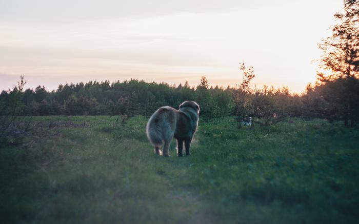 Рядовая прогулка Хаски, Кавказская овчарка, Гелиос, Лес, Длиннопост