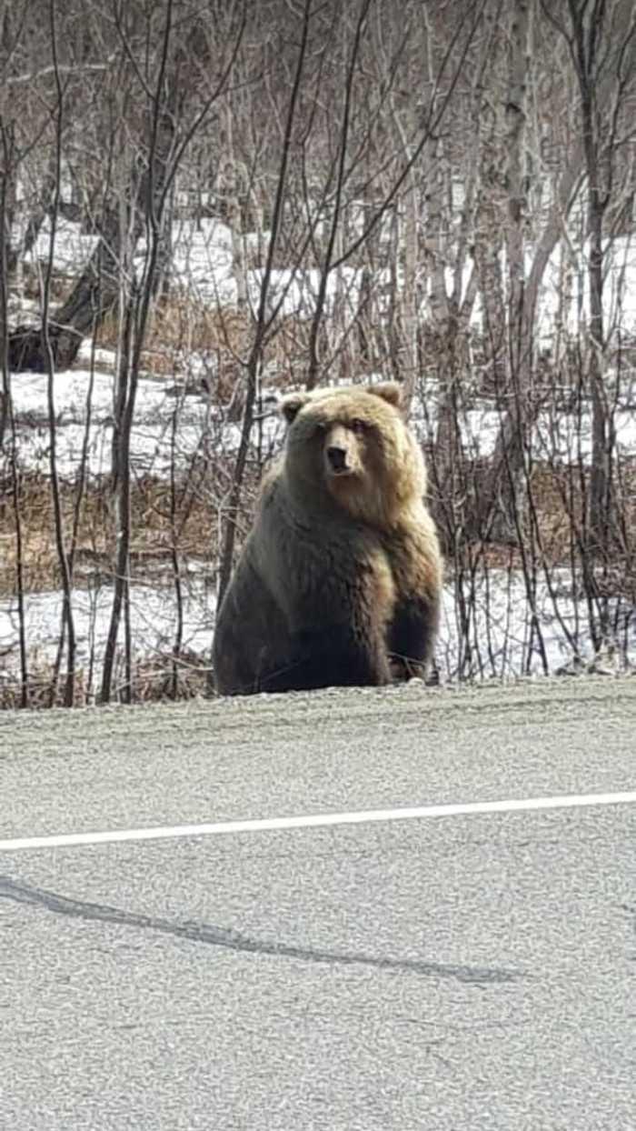 Весна наступила и хозяин леса вышел к людям Медведь, Камчатка, Фотография, Длиннопост