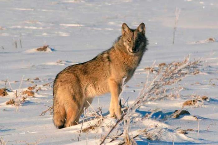Три волка Забайкалья Волк, Забайкалье, Длиннопост