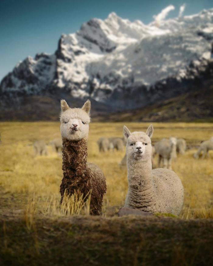 Аусангате, Перу Фотография, Природа, Красота природы, Перу, Милота, Альпака