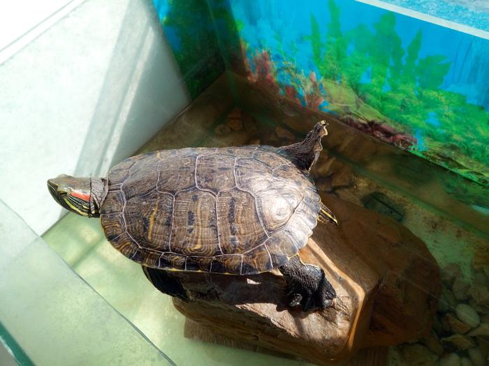 Хорошая погода)) Красноухая черепаха, Аквариум, Солнце, Подоконник