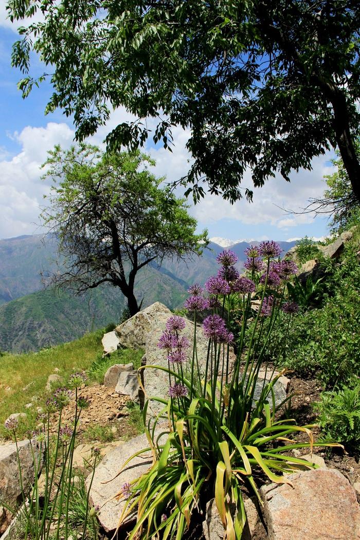 Дикий лук Лук, Природа, Горы, Таджикистан, Длиннопост
