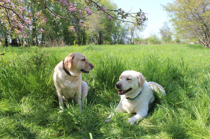 Пушистые подружки под яблоней Собака, Яблоня, Травка, Весна, Лабрадор, Животные