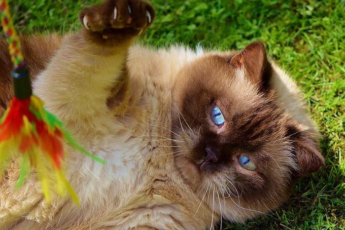 Кошачьи игры - это серьезно Кот, Игры, Хозяин, Охота, Питомец, Мышь, Клубок, Длиннопост