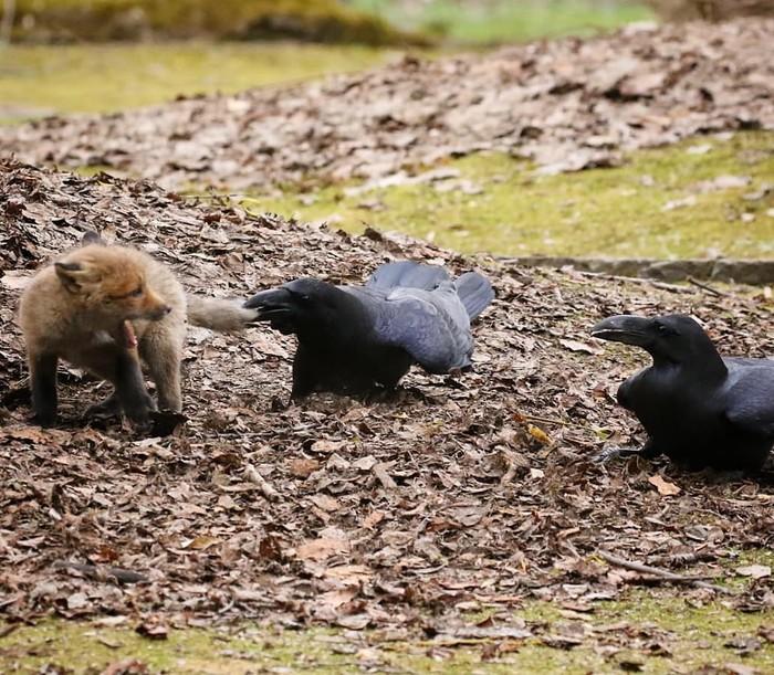 У нас на районе Фотография, Животные, Ворон, Лиса, Детеныш, Не обижайте маленьких, Длиннопост