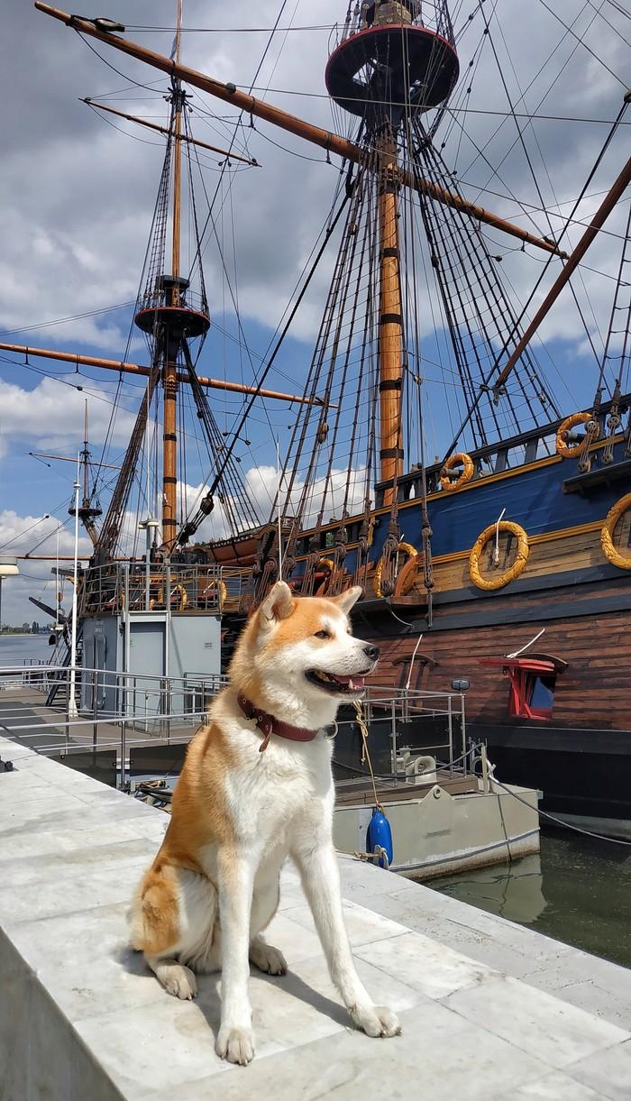 Интересно, сколько наберет мой пёс лайков))) Собака, Животные, Акита ину, Корабль