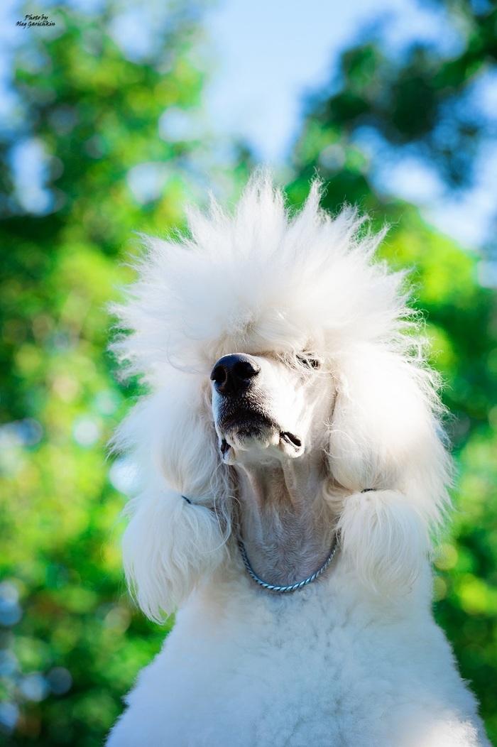 Очередная серия репортажных снимков с выставок собак, прошедших по Югу России в 2018 году, приятного просмотра))) Собака, Собаки и люди, Выставка собак, Собачники, Собачьи будни, Анималистика, Длиннопост