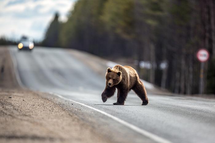 Не подкармливайте медведей ч.2 Медведь, Животные, Карелия, Дикие животные, Подкармливание
