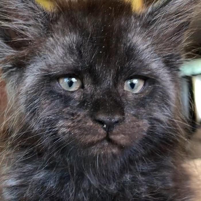 Кошка с человеческим лицом. Кот, Мейн-Кун, Котомафия, Длиннопост