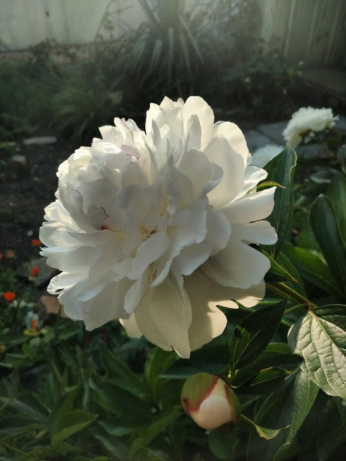 Пионы у бабушки Фотография, Пионы, Цветы, Паук, Длиннопост