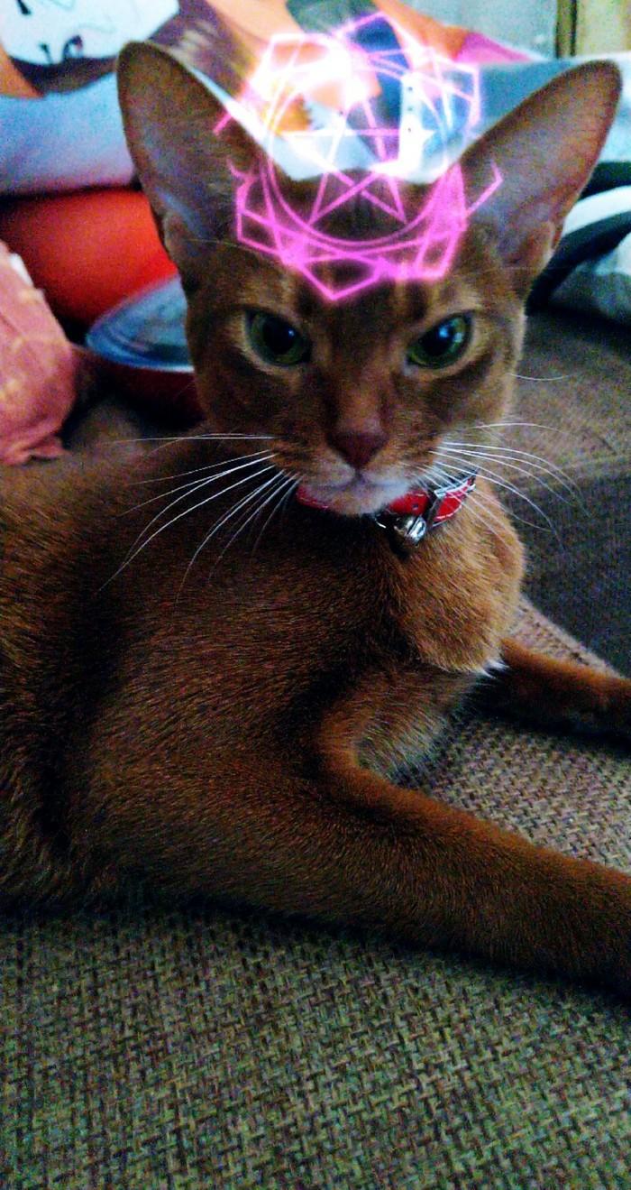 Моя рыжая шалунья Породистые кошки, Абиссинская кошка, Домашние животные, Длиннопост, Кот