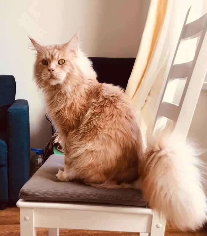 Было - стало. Кот, Мейн-Кун, Фотография, Спасение животных, Длиннопост