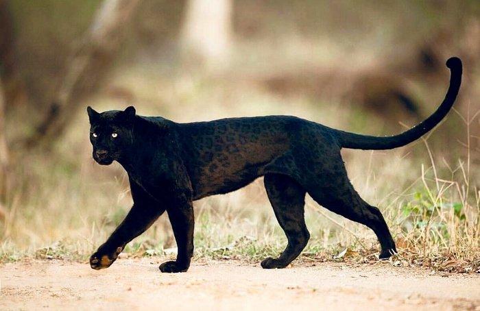 Говорят, не повезет, если черный кот дорогу перейдет...