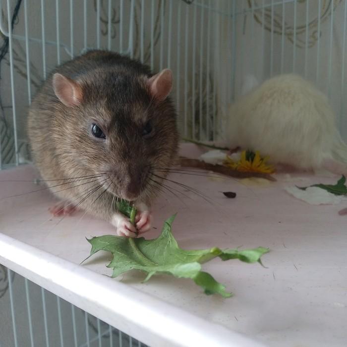 Одуванчики Декоративные крысы, Домашние животные, Одуванчик, Милота