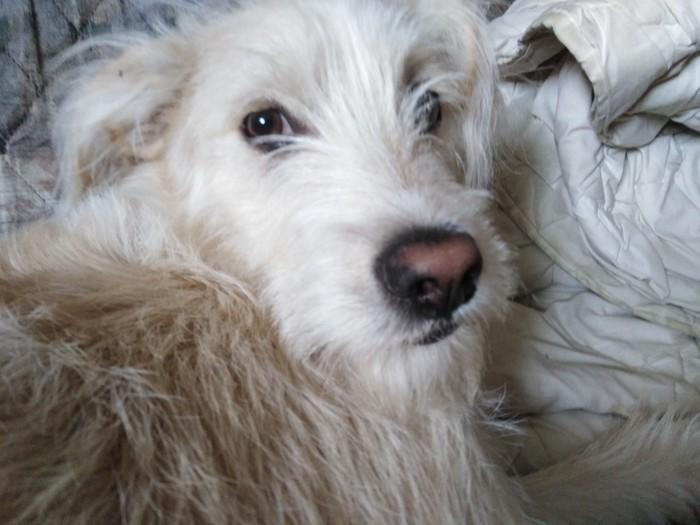 Очень милый щенок желать вам удачи(Это моя собака) Собака, Милашка, Мальчик, 6 месяцев, Длиннопост