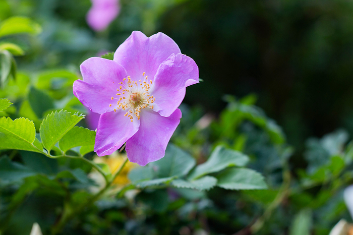 Цветы шиповника Цветы, Шиповник, Весна, Фотография, Капли, Длиннопост