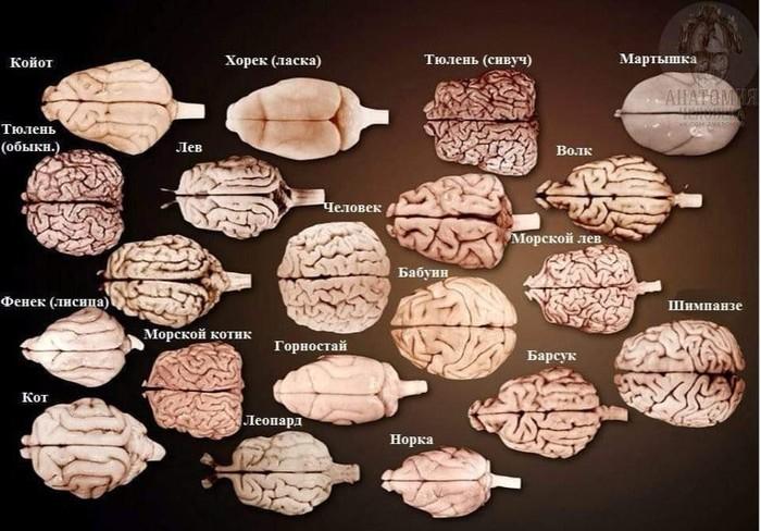 Мозг разных животных и человеческий для сравнения.