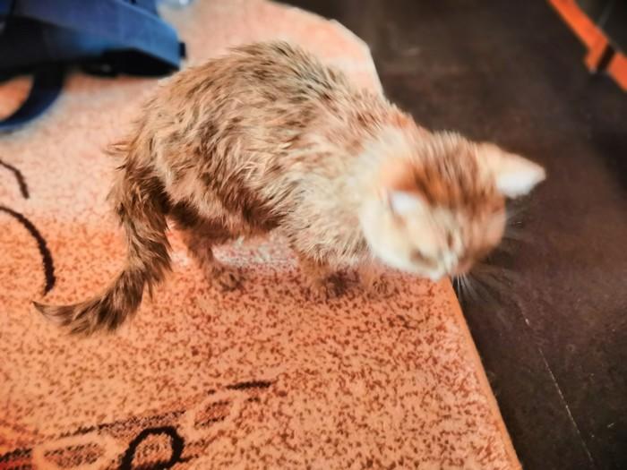 Помыли мы кошку Британский кот, Шерсть, Длиннопост, Кот