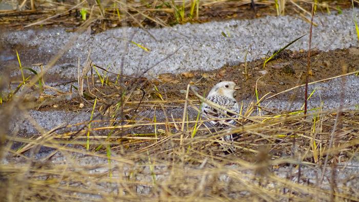 Самцы пуночки Птицы, Орнитология, Биология, Подкаменная тунгуска, Сибирь
