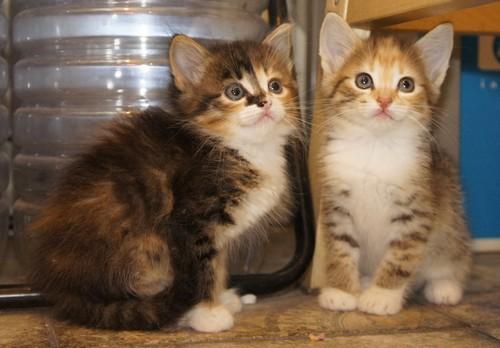 Кому двух котов (или кошек)? Котята, Котомафия, В добрые руки, Москва, Химки, Без рейтинга, Длиннопост