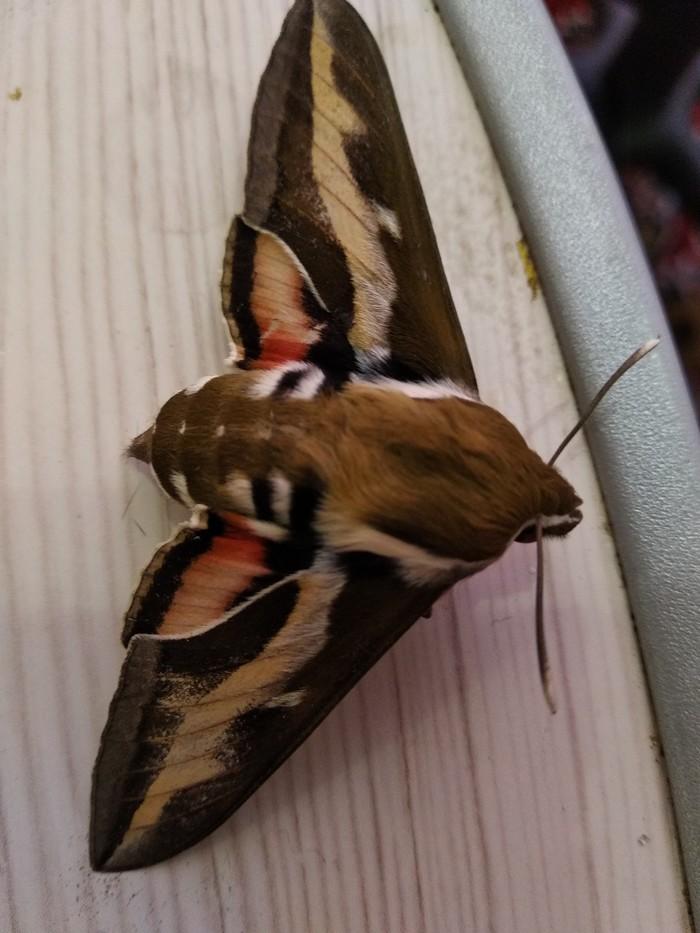 Тварь мотыльковая Насекомые, Бражник, Бабочка
