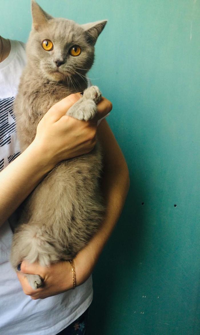 Порода не гарантия дома. Породистый подъездный котопад. Кот, Британский кот, Помощь животным, В добрые руки, Ищу дом, Санкт-Петербург, Длиннопост, Без рейтинга