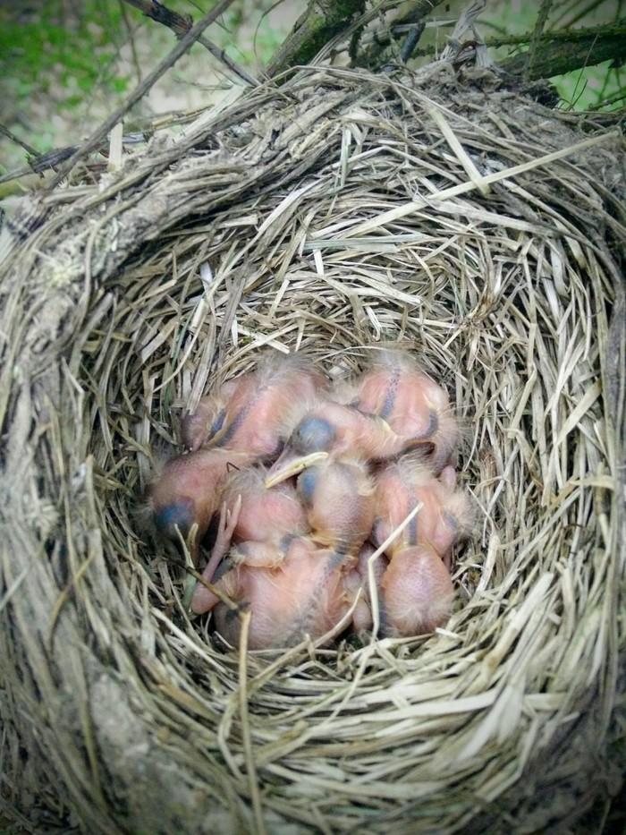 Из истории одного гнезда. Птицы, Гнездо, Дрозд-Рябинник, Яйца, Орнитология, Природа, Лес, Длиннопост