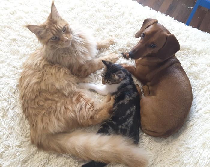 Наглость - второе счастье Коты и собаки вместе, Кот, Котомафия, Котята, Такса, Мейн-Кун, Дружба, Домашние животные, Длиннопост
