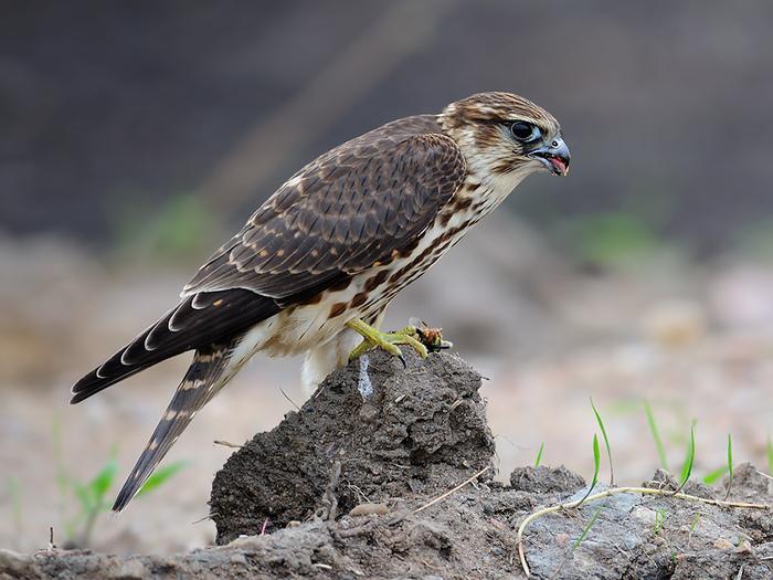 Миф об обонянии птиц Длиннопост, Разрушители мифов, Птицы