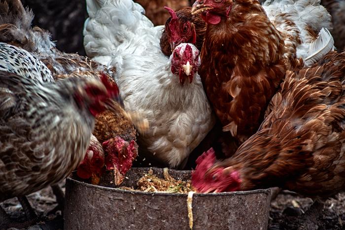 Soligor 90-230 f 4.5 . Подборка фото. Nikon d3100, Soligor 90-230, Кот, Цыплята, Курица, Серьезный Пес, Фотолюбитель, Длиннопост