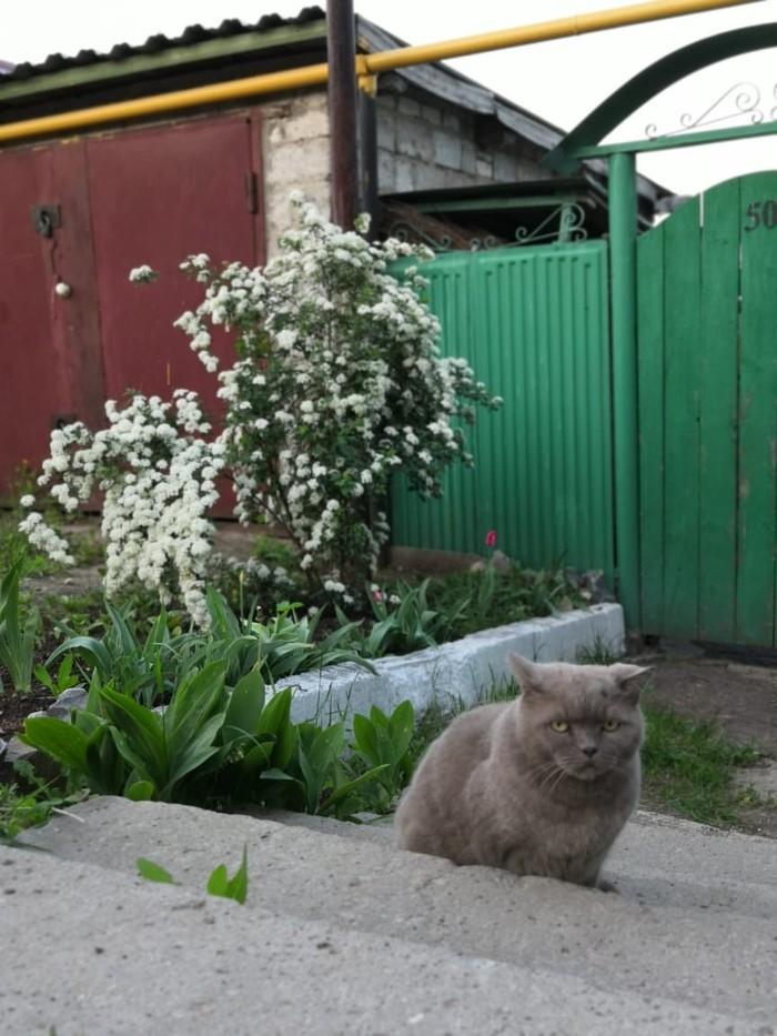 Вселенская печаль Кот грустит, Кот, Смотрит в душу, Печаль, Серый кот, Длиннопост