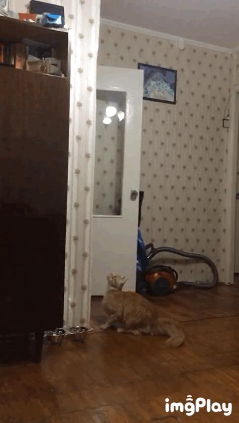 Грация хищника! Кот, Мейн-кун, Изящность, Гифка, Видео