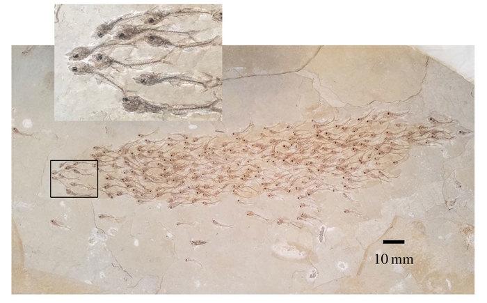 Стая рыбок в каменном плену Палеонтология, Открытие, Отпечаток, Рыба
