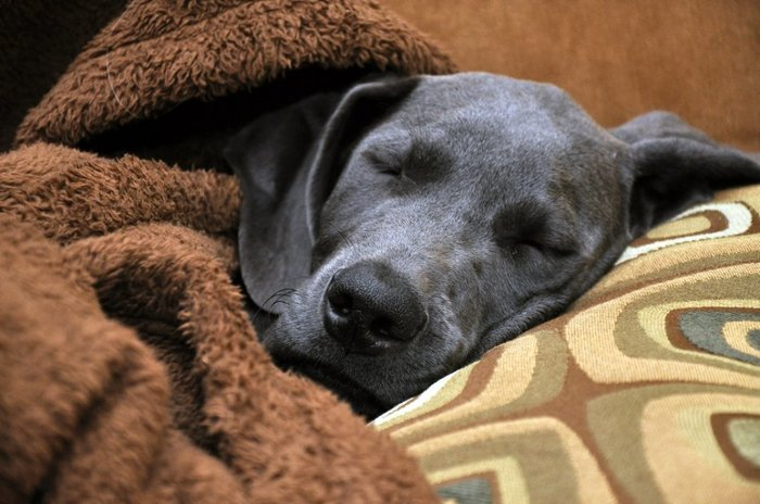 Собакам снятся любимые люди Собака, Животные, Питомец, Цветные сны, Длиннопост