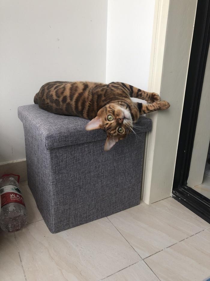 Как наказывать бенгала? Бенгальская кошка, Бенгалы, Кот, Наказание