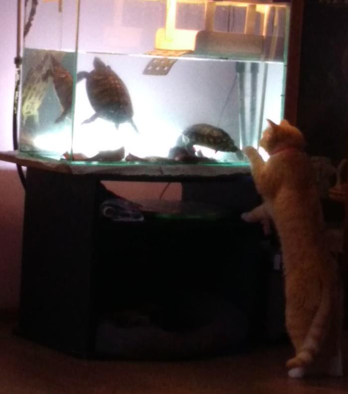 Знакомство с новыми жильцами Кот, Домашние животные, Черепаха, Красноухая черепаха